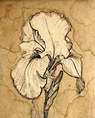 Iris flower. Graphic drawing. Coffee splashes background