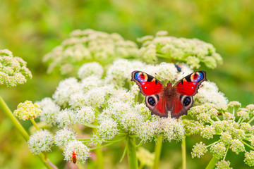 Photo sur Plexiglas Paon Beautiful butterfly peacock eye on the flower meadow, close-up