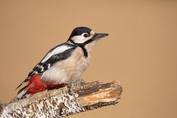 Splendido ritratto di picchio rosso maggiore maschio (Dendrocopos major)