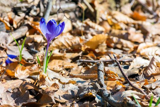 purple saffron flowers in fallen foliage. beautiful spring nature scenery.