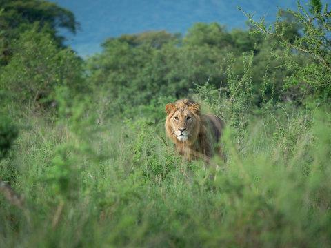 Lions in Akagera National Park, Rwanda.