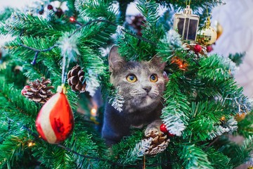 British cat on the Xmas tree among the branches