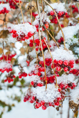 bush of viburnum with red berries covered with snow