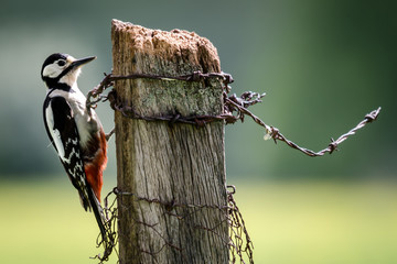 Fotoväggar - Greater Spotted Woodpecker