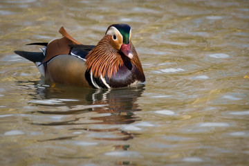 Wall Mural - Mandarin Duck - Male
