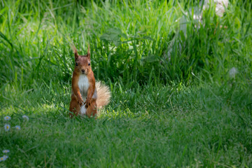 Fototapete - UK Wild Red Squirrel
