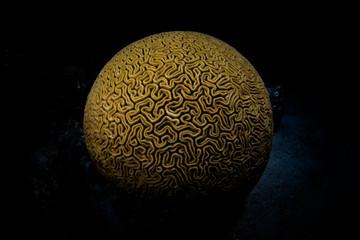 Wall Mural - Brain Coral in Caribbean Sea