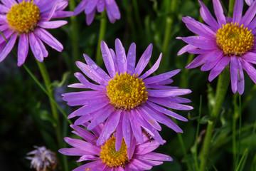 fioritura di Astro alpino (Aster alpinus) su prato di montagna