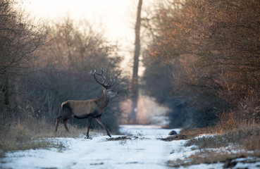 Photo sur Toile Chasse Red deer in forest on snow