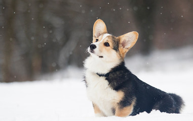 Wall Mural - welsh corgi pembroke puppy in the snow