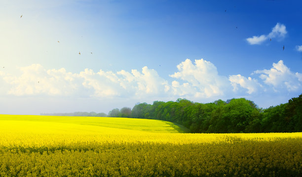 spring countryside landscape; blue sky over blooming yellow field