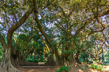 Bench in an English Park among the giant Ficus macrophyll. The Algerian Botanic garden, Algeria