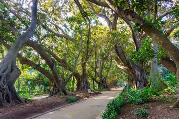 A shady alley of a giant Ficus macrophylla in the English Park. The Algerian Botanic garden, Algeria