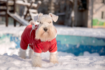 White miniature schnauzer in red velour suit staying on the snow