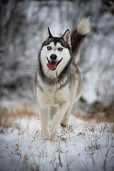 A siberian husky running to the camera with smiling face