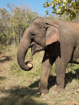Asian elephant holding a bamboo in his trunk.