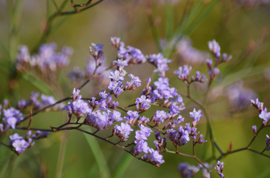 Limonium (Caspia) flower blooms in the meadow in summer. Flora of Ukraine. (Shallow depth of field, close-up)