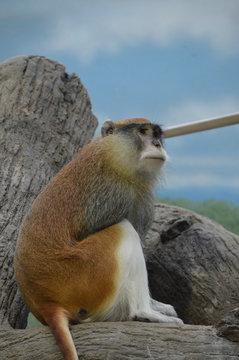 A Patas Monkey