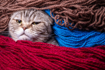 Wicked Scottish Fold cat looks strictly wrapped in colored wool yarn. Close-up.