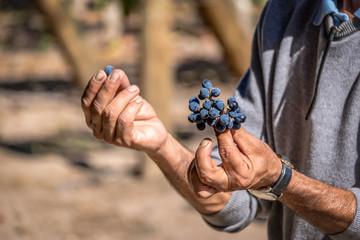 Papiers peints Amérique du Sud Grapes in a Chilean Vineyard - Santiago, Chile