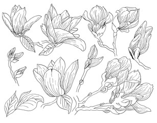 Magnolia flowers drawing and sketch with line-art on white backgrounds