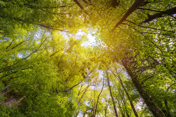 Green forest. Tree with green Leaves and sun light. Bottom view background. Looking up in a tree forest in summer. Low angle shot. Tall trees from below or beneath.
