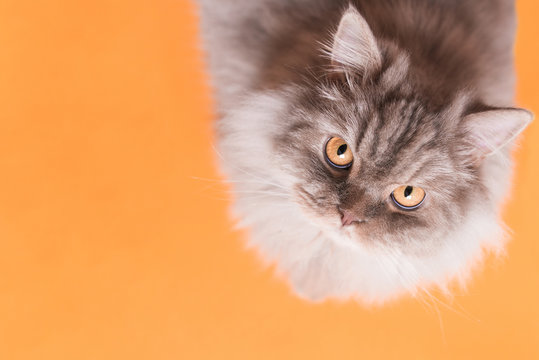 Beautiful fluffy cat is isolated on an orange background, looking into the camera. Nice cat on an orange background and a copyspace. Pet concept.