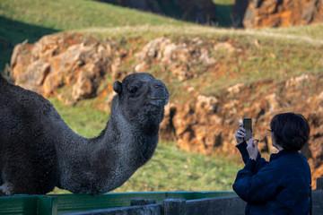 Tourist takes a photo of camel