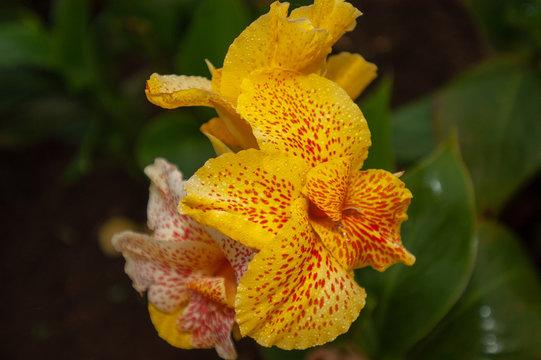 Jaune fleur tropicale Indonésie Bali, Yellow tropical flower Indonesia Bali