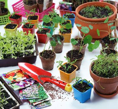 Spring sowing seeds for seedlings