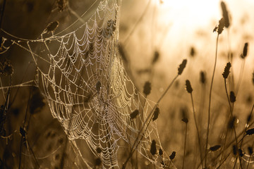 Photo sur Aluminium Pissenlits et eau Dew Drenched Spiderweb Bathed in Morning Light