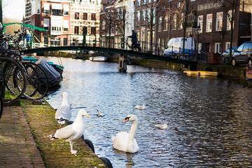 White swan and seagulls on embankment of Amsterdam Canal, Holland. Selective focus