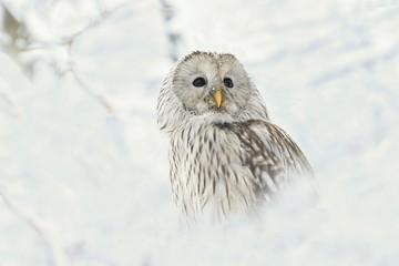 owl in snow, owl portrait in winter, ural owl in winter forest. Strix uralensis