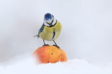 Garden bird eurasian blue bird, sitting on the apple. , songbird sitting on the apple. little bird in nature forest habitat, Winter wildlife scene from nature. Parus caeruleus