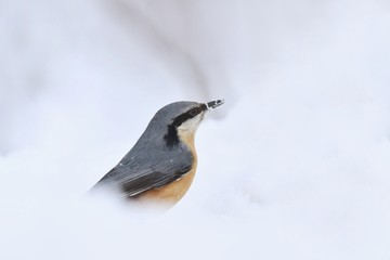 Eurasian nuthatch (Sitta europaea) sits on the snow. nuthatch in the nature habitat. Wildlife scene from winter.