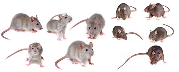 grey rat collection Fototapete