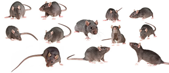 brown rat isolated on a white background - collection