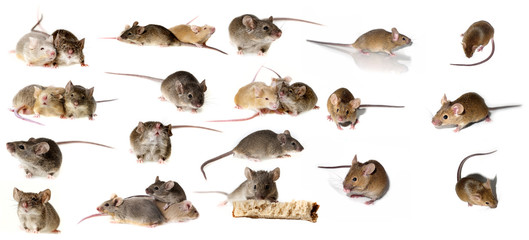 big mice collection - mice isolated on white