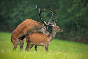 Copulating red deer, cervus elaphus, couple. Mating wild animals in wilderness. Sexual behaviour of deer in nature. Wildlife scenery in autumn during rutting season.