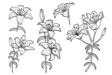 Lily flowers. Blooming lily. Hand drawn lines flowers. Silhouette of lily flowers isolated on white background. Vector illustration.