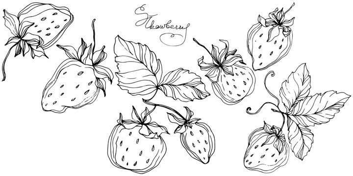 Vector Strawberry fruits. Black and white engraved ink art. Isolated strawberry illustration element.
