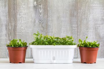 Spring gardening light concept, fresh herb in pots