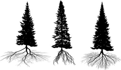 three high fir tree silhouettes with roots on white