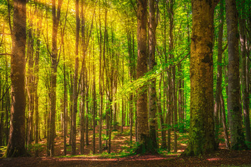 Casentino secular forest. Tree misty woods or beechwood. Tuscany, Italy.