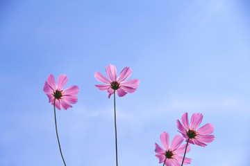Colorful pink cosmos flowers blooming with reflection from the sun on vivid blue sky and light clouds for background