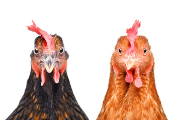 Photo sur Plexiglas Poules Two chickens isolated on white background looking at the camera