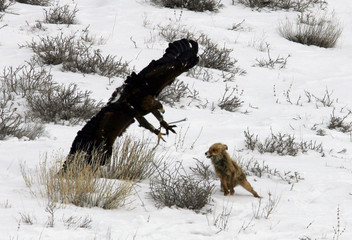 A hunter eagle approaches a fox during traditional hunting contest outside village of Nura.