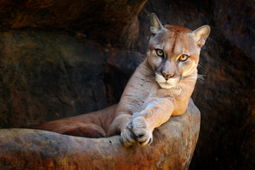 Wild big cat Cougar, Puma concolor, hidden portrait of dangerous animal with stone, USA. Wildlife scene from nature. Mountain Lion in rock habitat.