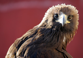 A hunting eagle watches before traditional hunting contest outside village of Nura.