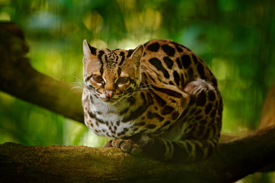 Wildlife in Costa Rica. Nice cat margay sitting on the branch in the costarican tropical forest. Detail portrait of ocelot, nice cat margay in tropical forest. Animal in the nature habitat.